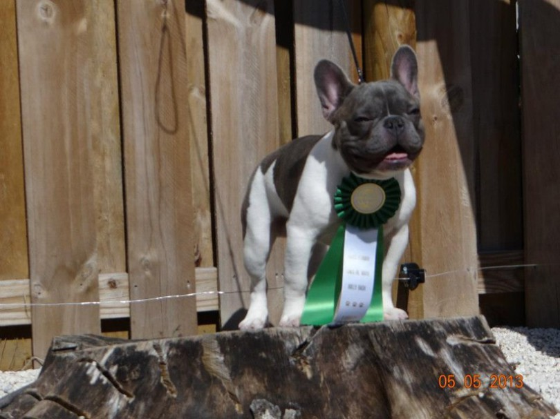 Dreamy X Breeze litter, owned by Dan-Shi bullies