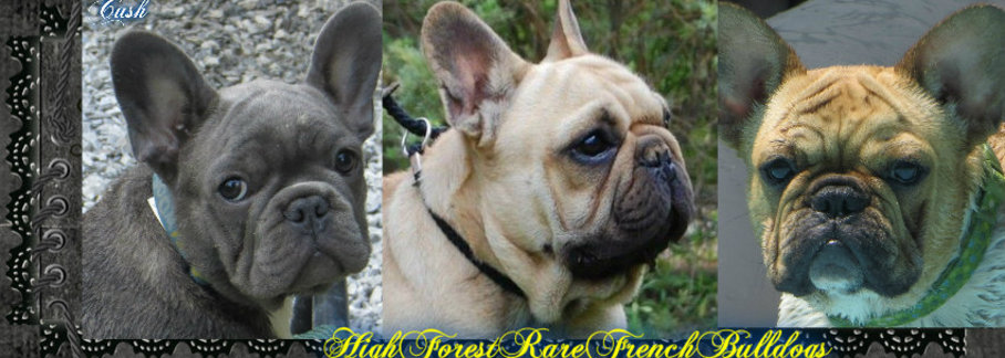 High Forest Rare French Bulldogs In Hohenwald, TN - Home